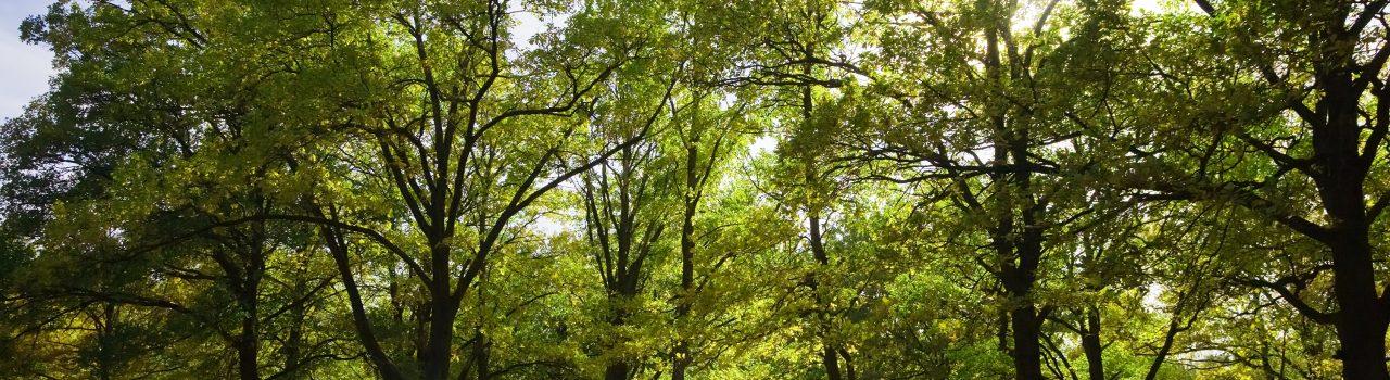 View of beautiful oak grove in summer